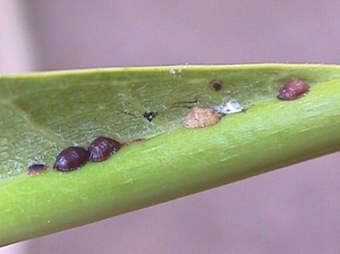 Scale Insects on Plumeria